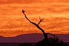 Bald Eagle silhouetted in a tree.