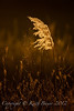 Phragmites - late afternoon