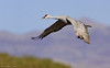 Crane in flight - Bosque Del Apache