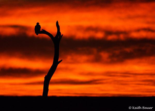 Bald Eagle in the Mornin' - Bosque Del Apache NWR