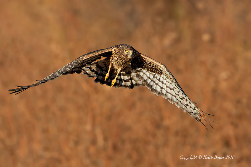 Northern Harrier - Bosque Del Apache