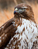 Red Tail Hawk - Bosque Del Apache National Wildlife Refuge