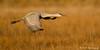 Sandhill Crane - Bosque Del Apache