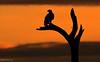 Bald Eagle Sunrise Silhouette