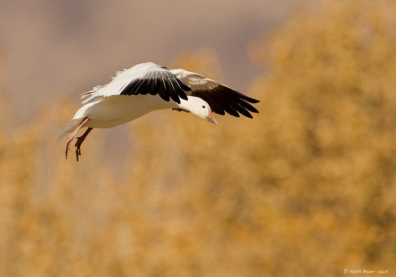 Snow Goose Final Approach