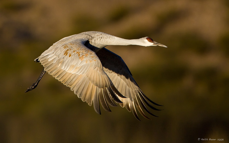 Sandhill Crane - Morning Light