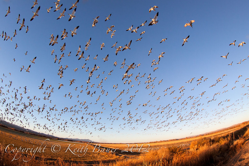 Snow Geese liftoff