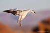 Young Light  Goose Landing - Bosque Del Apache