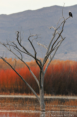 It's lonely at the top... Bosque del Apache NWR, Socorro NM
