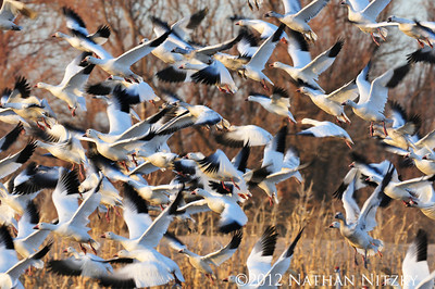 Snow Geese returning from the cornfields, Bosque del Apache NWR, Socorro NM