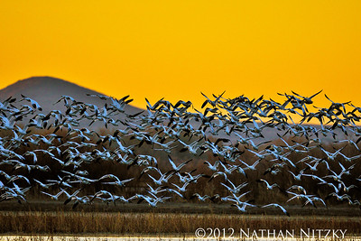 Snow Geese Blastoff, Bosque del Apache NWR, Socorro NM