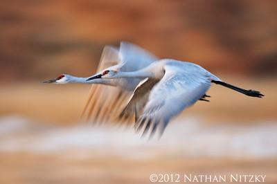 Sandhill Cranes, Bosque del Apache NWR, Socorro NM
