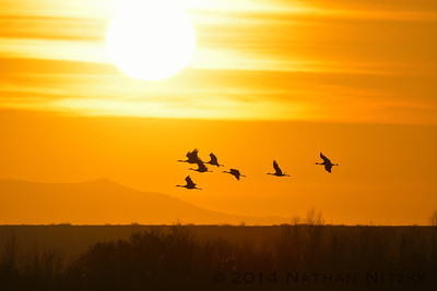 Cranes at sunrise, Bosque del Apache