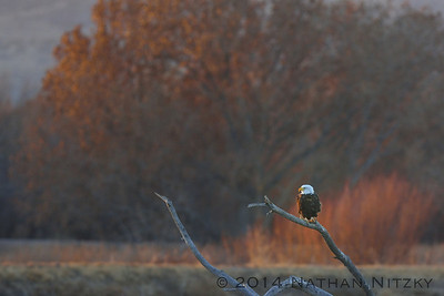 Adult Bald Eagle from the Flight Deck, Bosque del Apache