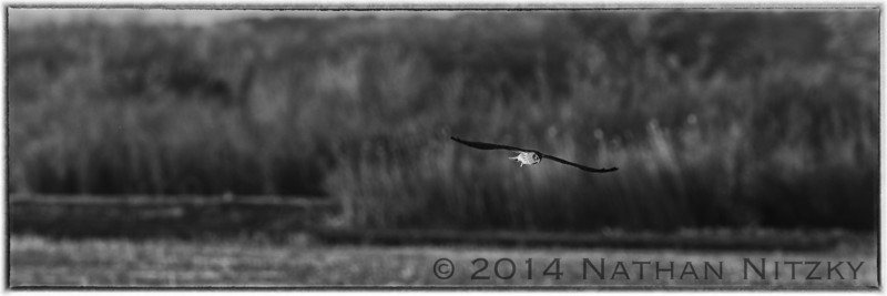 Harrier hunting, Bosque del Apache
