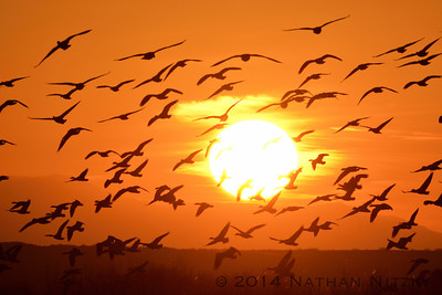Snow Geese, Sunrise, Bosque del Apache