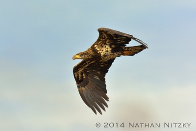 Subadult Bald Eagle, Bosque del Apache