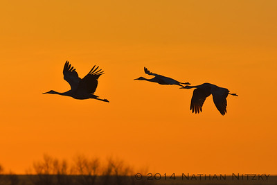 Sandhill Cranes, Bosque del Apache morning