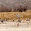 An estimated 8,000 Sandhill Cranes were at the Bosque