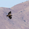 Another Immature Bald Eagle
