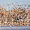 An estimated 25,000 Snow Geese were at the Bosque