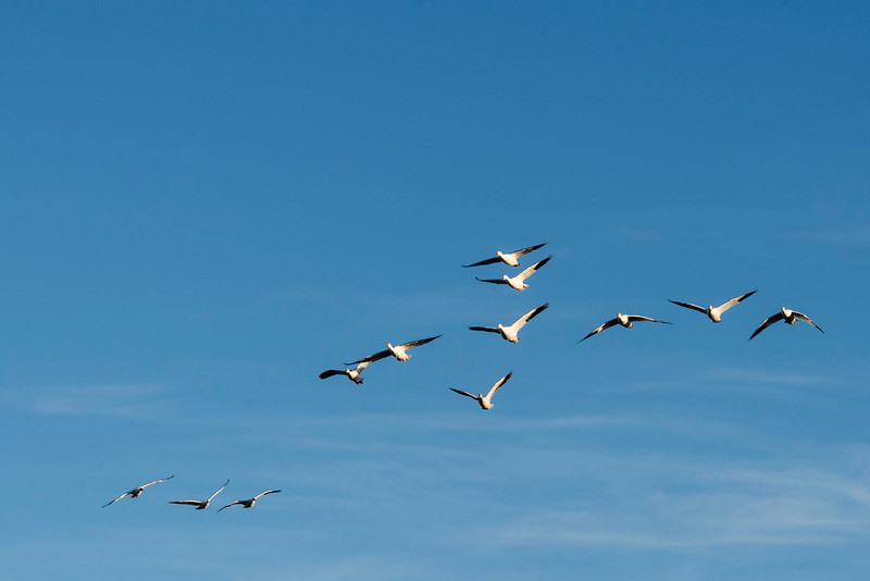 Snow geese migrate 3,000 miles from Artic Alaska and Canada to winter at the Bosque.