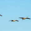 Sandhill cranes have a wingspan of 5' to 7' and can soar for hours by riding thermals.