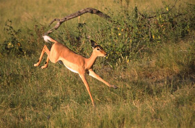 Young Female Impala