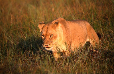 Female Lion 4