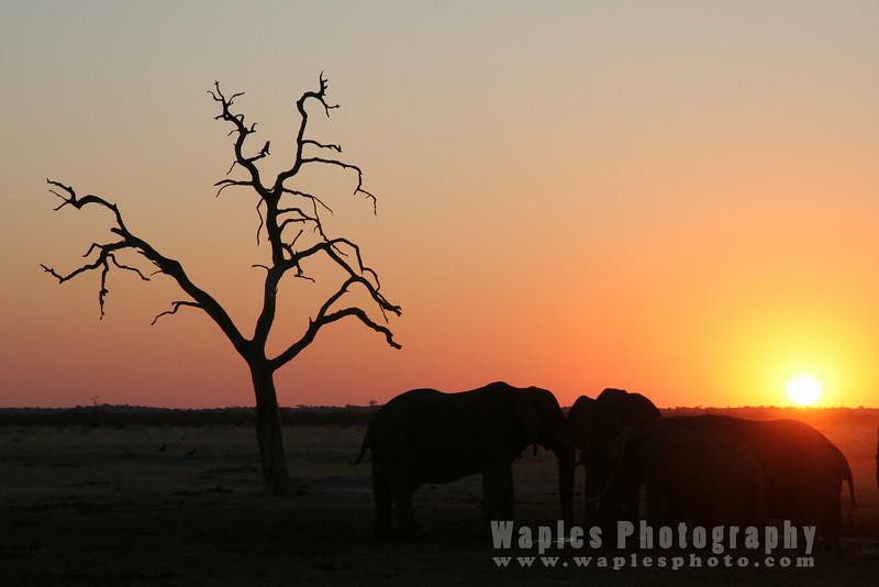 Elephants at Sunset, Savuti