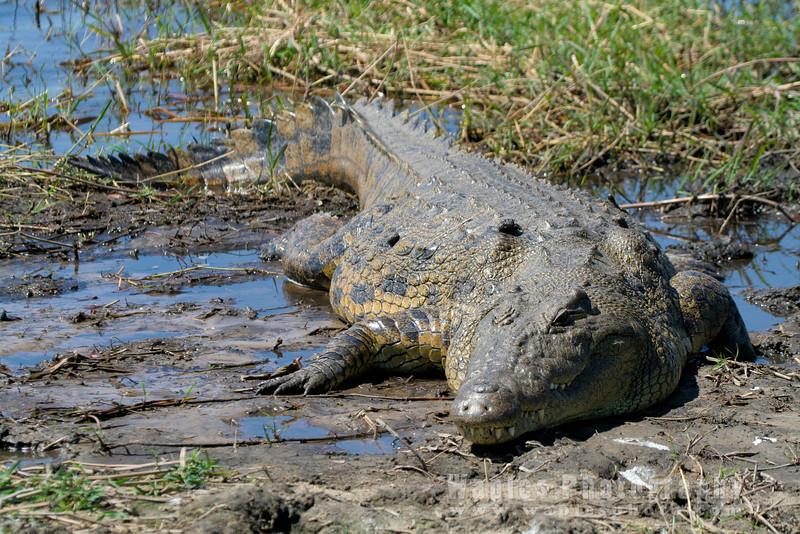 Resting Croc