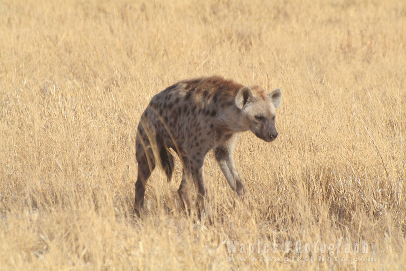 Lone Spotted Hyena