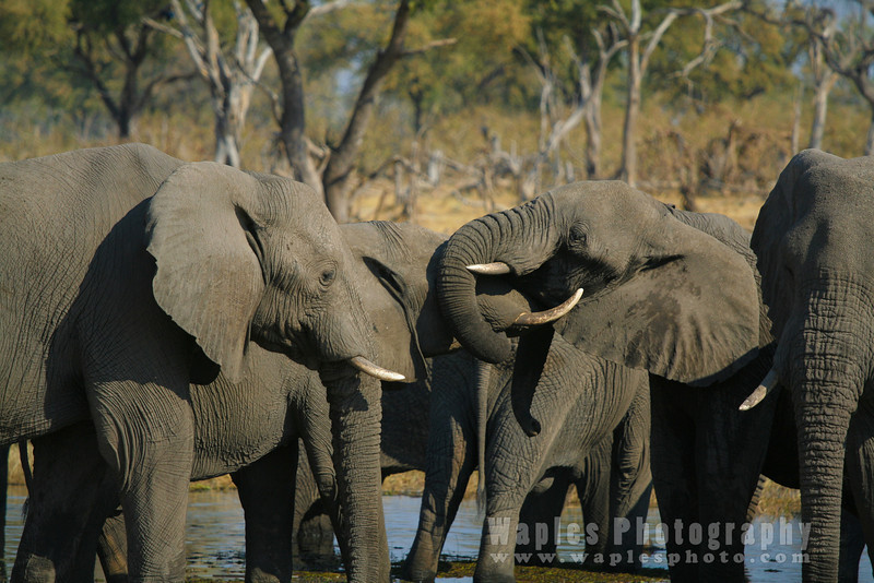 Elephants Greeting Each Other