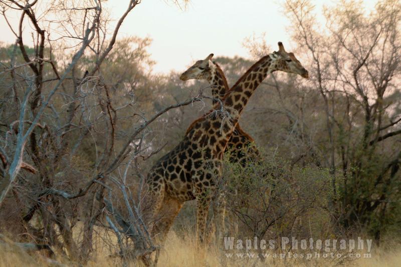 Giraffe Sizing each other
