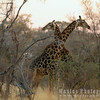 Giraffe Sizing each other