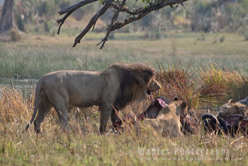 Gorging on buffalo