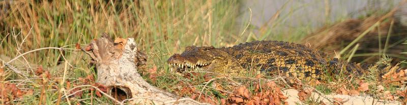 Nile Crocodile waiting to break into the carcass