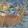 Steenbok, a small antelope