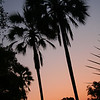 Ivory Palm Trees