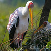 Nesting Yellow-billed Stork
