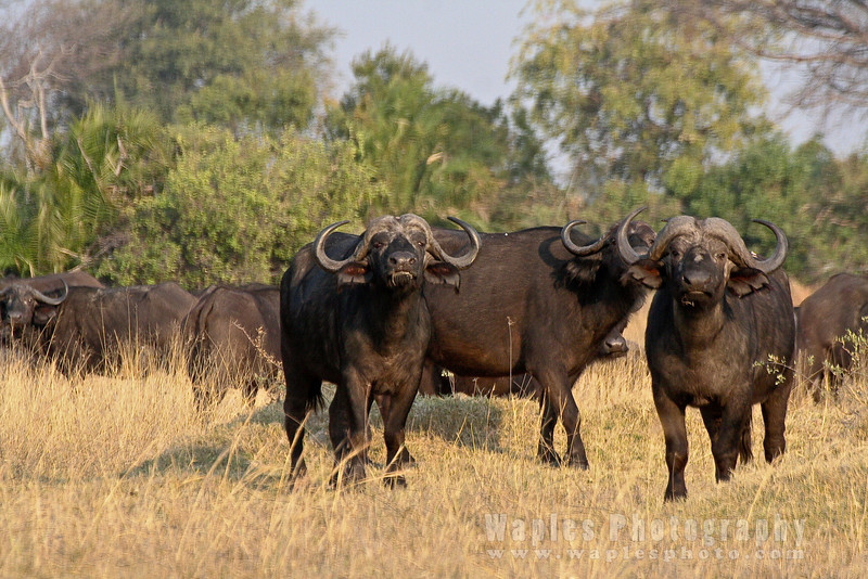Cape Buffalo on Guard