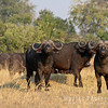 Cape Buffalo on Guard