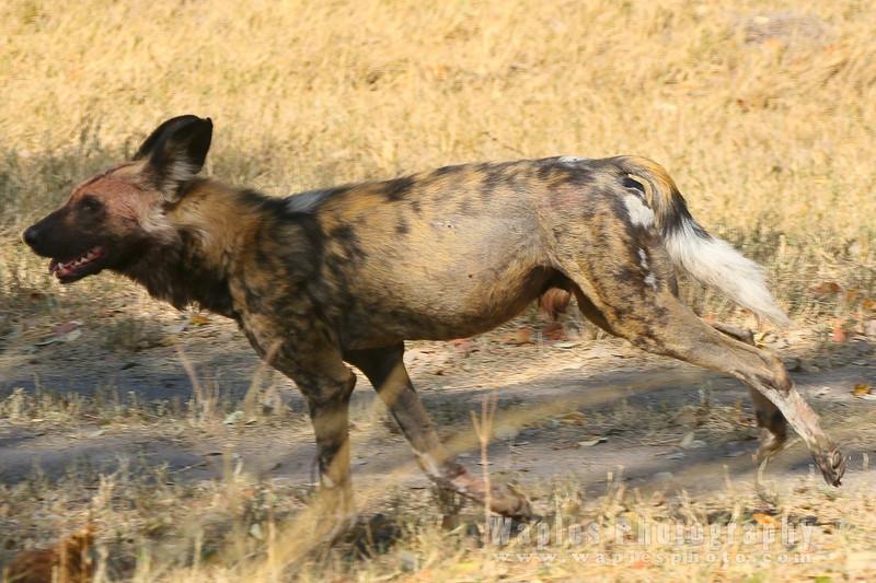 Wild Dog leaving Kill