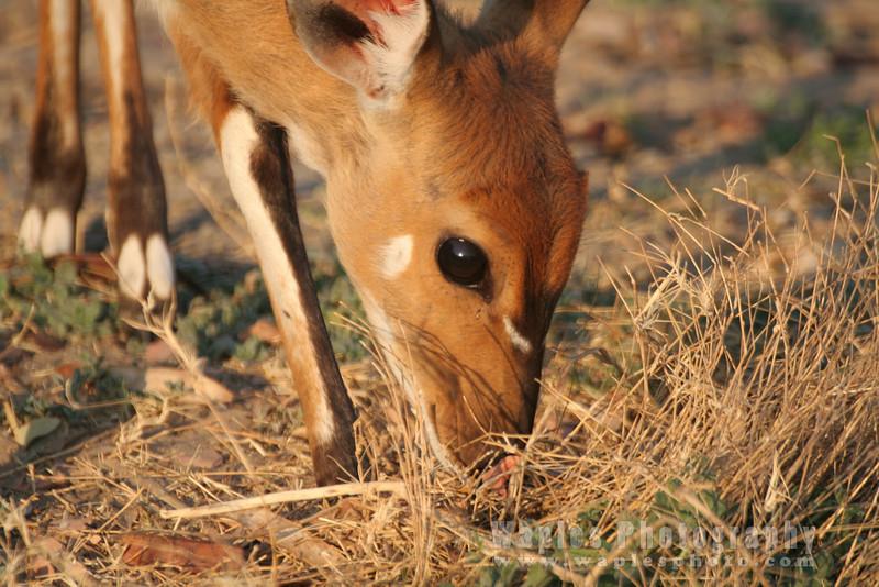 Bushbuck Closeup