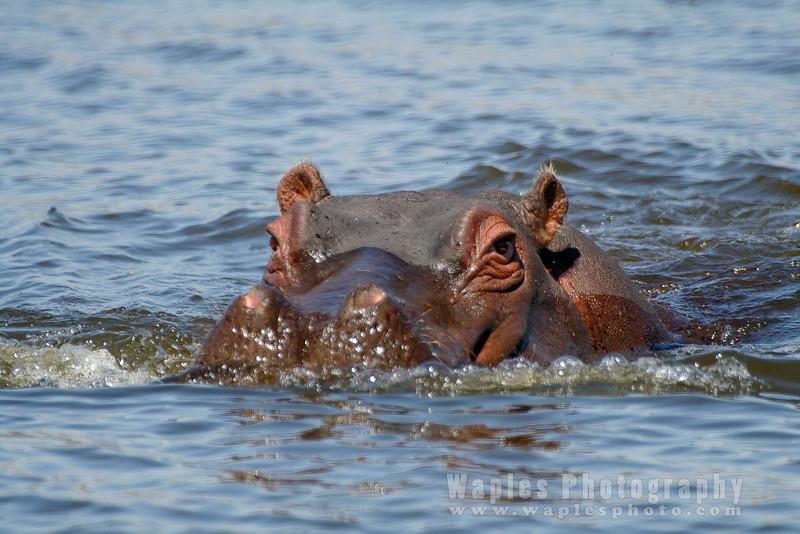 Aggressive Hippopotamus