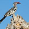 Red Billed Hornbill