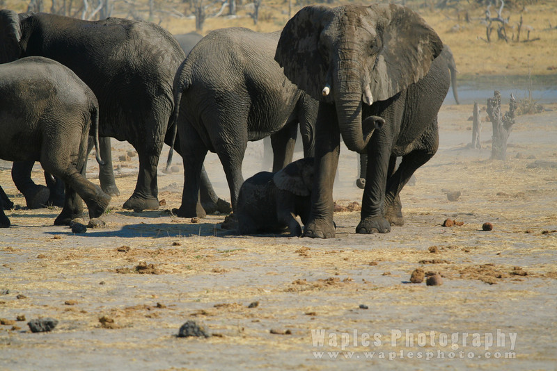 Elephant On-guard, while youngsters play