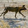 Wild Hunting Dog