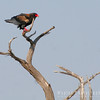 "Bateleur, ""tight-rope walker"""