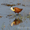 Male African Jacana